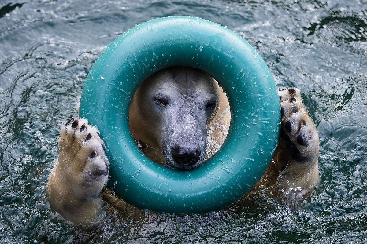 IN THE EVENT OF A WATER EMERGENCY, INSERT LIFE PRESERVER OVER HEAD: Anori the polar bear demonstrates how it is done in his pool at the Wuppertal Zoo in Wuppertal, Germany.