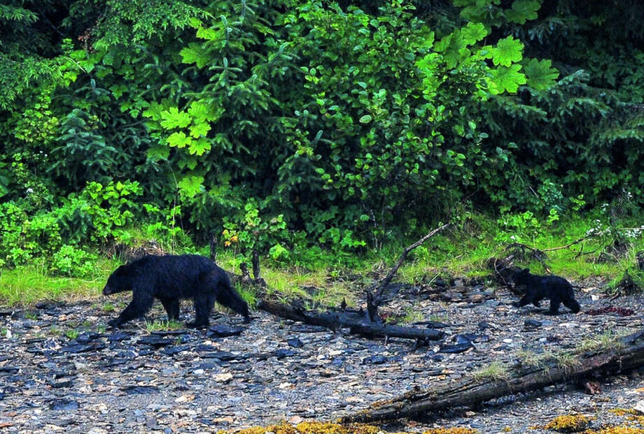 A file photo of a black bear mama and cub wander in the Alaska Wilderness. A father and son shot a 