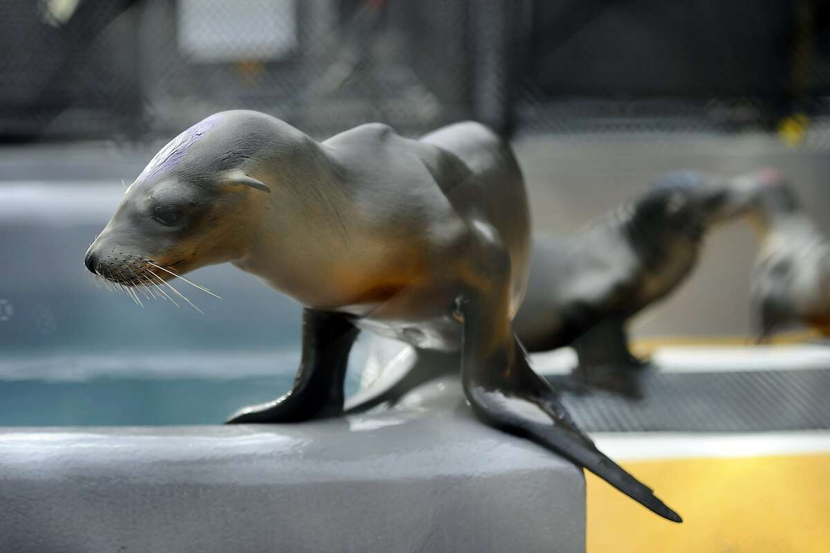 Sea lions that are being rehabilitated for starvations issues play in their enclosure at the Marine Mammal Center in Sausalito, CA, on Thursday, February 5, 2015.