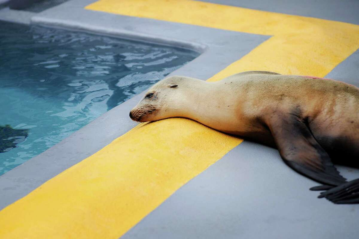 A sick sea lion rests near a pool in its cage as it undergoes rehabilitation at the Marine Mammal Center in Sausalito, which is helping many sick sea lions.