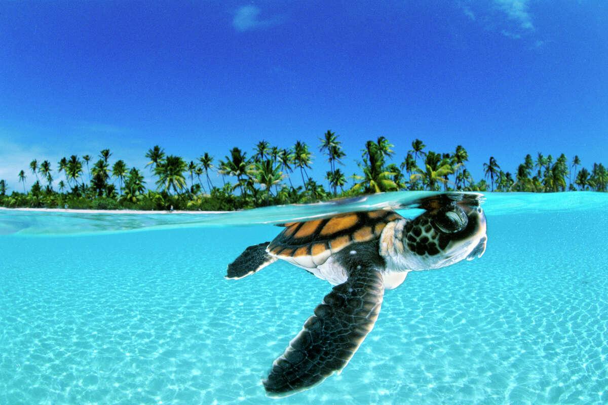a baby green sea turtle (chelononia mydas) swims toward the protection of the open sea off nengo nego atoll french polynesia