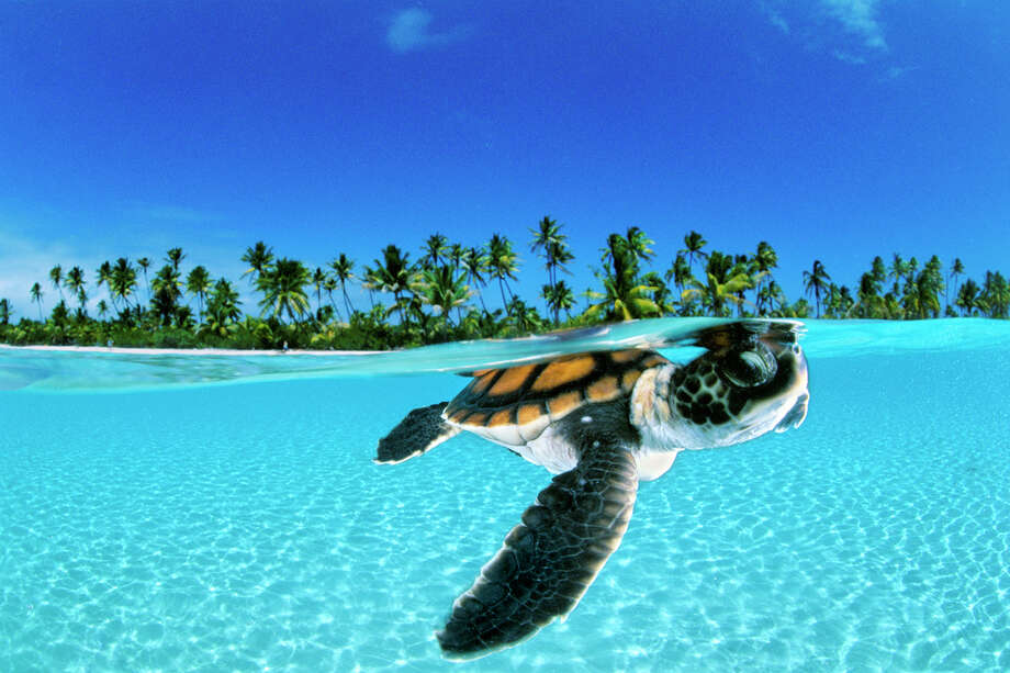 a baby green sea turtle (chelononia mydas)  swims toward the protection of the open sea off nengo nego atoll french polynesia Photo: David Doubilet / Undersea Images Inc