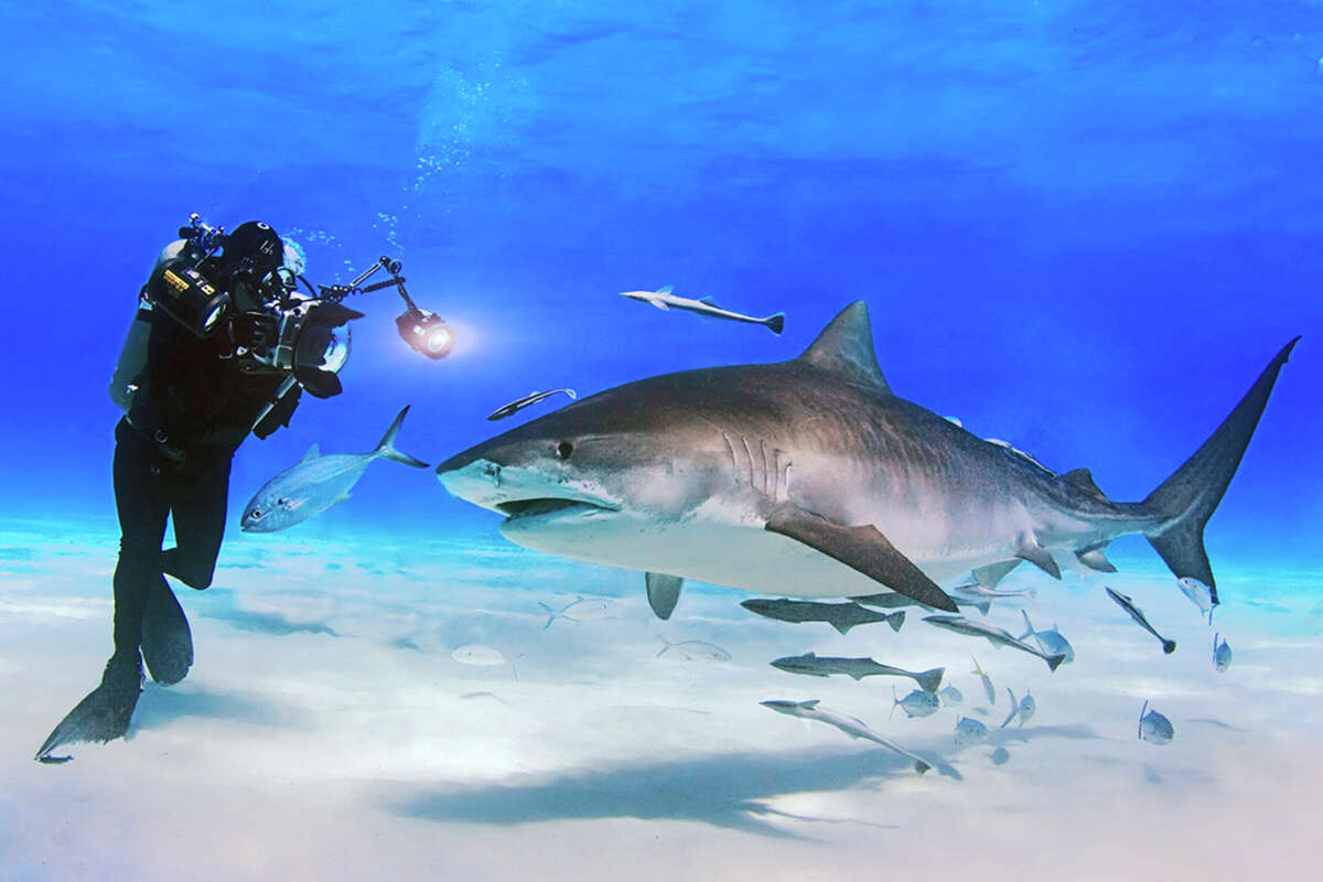 David Doubilet with tiger shark.