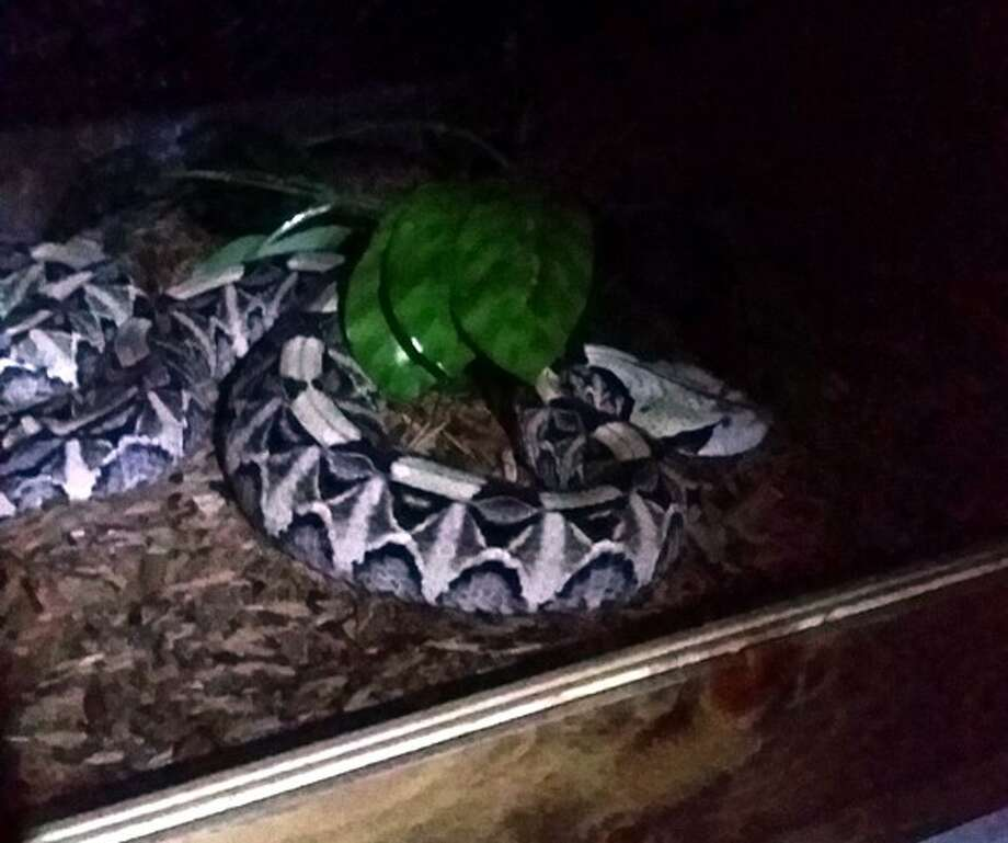 Firefighters found several snakes and other exotic reptiles during a small house fire in the 11000 block of Gran Vista Street on Friday. Photo: Courtesy Photo/Animal Care Services