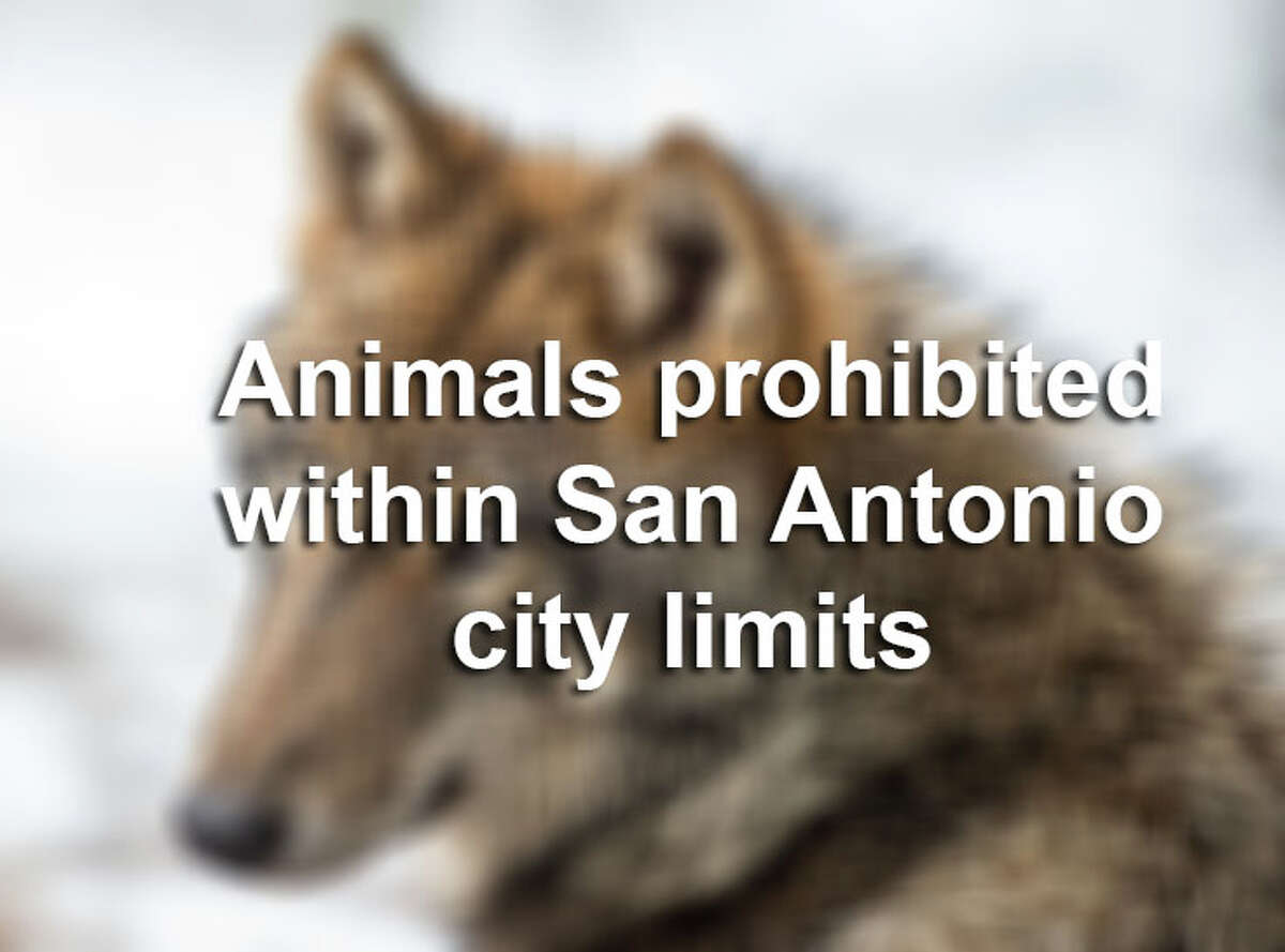 There are several types of animals that you can't own with the city limits of San Antonio. Click through the slideshow to see which animals are on that list.