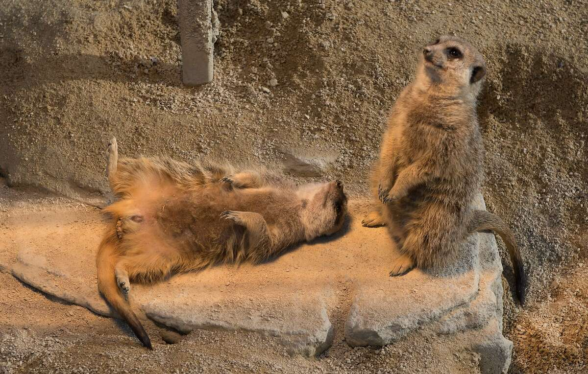 WHAT DO YOU MEAN, I HAVE B.O.? Meerkats warm themselves under a heat lamp at Zoo Wilhelma in Stuttgart, Germany.