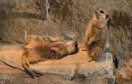 Meerkats warm up in their enclosure in the zoo Wilhelma in Stuittgart, southern Germany, on February 3, 2015.  Meerkats live in all parts of the Kalahari Desert in Botswana, in much of the Namib Desert in Namibia, southwestern Angola and in South Africa.