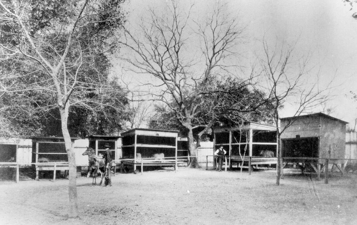 1. First, a San Pedro Park exhibit A caged animal exhibit set up in San Pedro Park in the mid-1800s was the beginning of a zoo in San Antonio. It had bears, wolves, possums, raccoon, ringtails and a snake pit.Source: History of the San Antonio Zoo