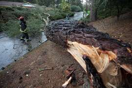Oakland Fire Department Lt. Jacob Holmes surveys the scene after a large Monterey pine tree fell across the road during high winds on Sun Valley Drive in Oakland, Calif., Friday, Feb. 6, 2015. (AP Photo/The Tribune, Jane Tyska)
