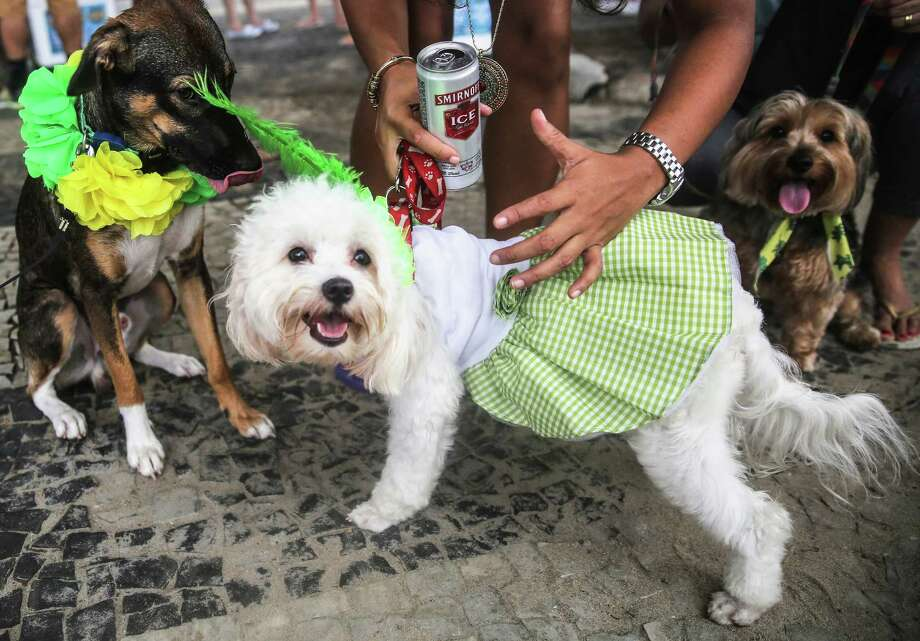 Costumed dogs attend a 'bloco' street parade honoring pets, specifically dogs, during pre-Carnival festivities on February 1, 2015 in Rio de Janeiro, Brazil. Carnival officially starts February 13 but pre-Carnival festivities are already underway in Brazil with around 500 street parades honoring a massive variety of themes and subjects. Photo: Mario Tama, Getty Images / 2015 Getty Images
