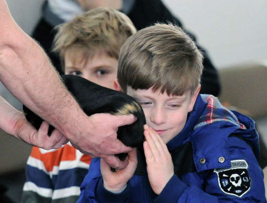 At right, Stamford Cub Scout Nate Bouchard, 7, puts his face on the soft coat of a guinea pig held by Animal Educator, Ben LaPoint, during the Cub Scout Winter Cowabunga at the Stamford Museum & Nature Center, Conn., Saturday, Feb. 7, 2015. The Powahay District of the Connecticut Yankee Council organized the event for area scouts giving them hands-on experience focusing on nature, science and animal presentations. Photo: Bob Luckey / Greenwich Time
