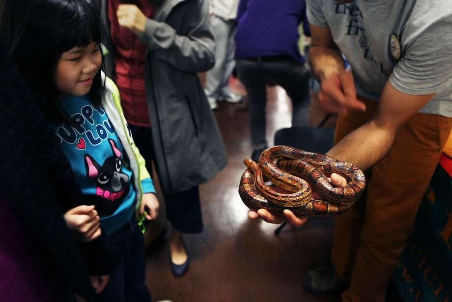 David Peterson with Tree Frog Treks shows young girl who does not want to be named a corn snake at Balboa High School in San Francisco, Calif., Saturday February 7, 2015. Photo: Sophia Germer, The Chronicle
