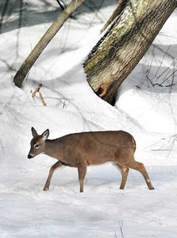 A deer walks along a frozen pond at Yaddo in Saratoga Springs Tuesday afternoon February 8, 2011.   (John Carl D'Annibale / Times Union) Photo: John Carl D'Annibale, Albany Times Union / 10012007A