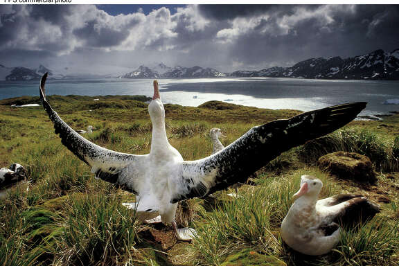 "Frans Lanting's photo of a wandering albatross striking a courtship pose for its mate is included in ""National Geographic 100 Best Wildlife Pictures,"" a large-format collector's issue on newsstands now.  From elephants, tigers and polar bears to beetles, bats and jellyfish, ""National Geographic 100 Best Wildlife Pictures"" showcases an astonishing array of animals in a variety of environments.  (Feature Photo Service)"
