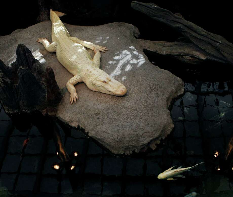 Tough times for koi continue as s f aquarium looks to for Koi im aquarium