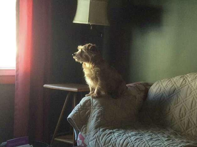 "Every day Judy Carbauh's Norfolk Terrier Toula gets on the couch to look out the living room window at their Mechanicville home for the mail truck to park, then barks to let her know when the mailman has delivered the mail. ""In fact, Toula and Cooper [her other terrier] keep me aware of all things both outside and in... no doorbell needed in our house, no emergency or noise unattended!"" she says. (Judy Carbauh)"