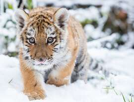 In this Saturday Jan. 31, 2015 picture male Siberian tiger Dragan makes its way through the snow in an enclosure in the zoo in Eberswalde, eastern Germany.