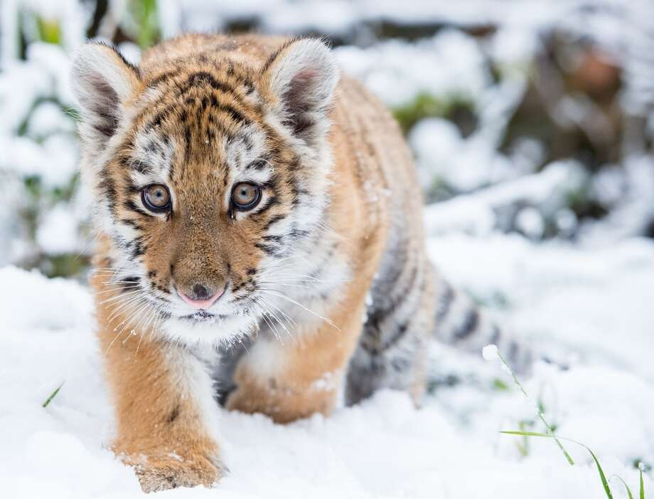 In this Saturday Jan. 31, 2015 picture male Siberian tiger Dragan makes its way through the snow in an enclosure in the zoo in Eberswalde, eastern Germany. Photo: Patrick Pleul, Associated Press
