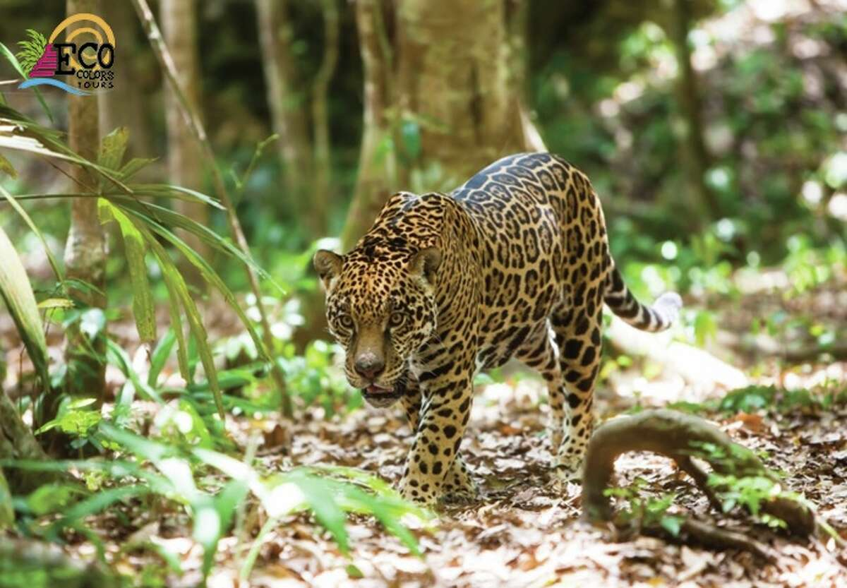 Your chances of glimpsing a streak of flashing spots are decent during the seven-day Jaguar Research Tour in dense jungle with EcoColors Tours. According to the company's founder Kenneth Johnson, tour participants see jaguars during about 50 percent of the tours, which are run by prestigious jaguar researcher Dr. Gerardo Ceballos.
