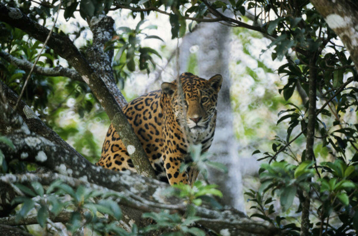 Before humans took over their habitat jaguars roamed through much of southern Mexico. Today, they are considered endangered and nearly extinct. But their tracks still etch the dirt around remote villages and archeological sites in southern Quintana Roo and sightings, though rare, are possible.