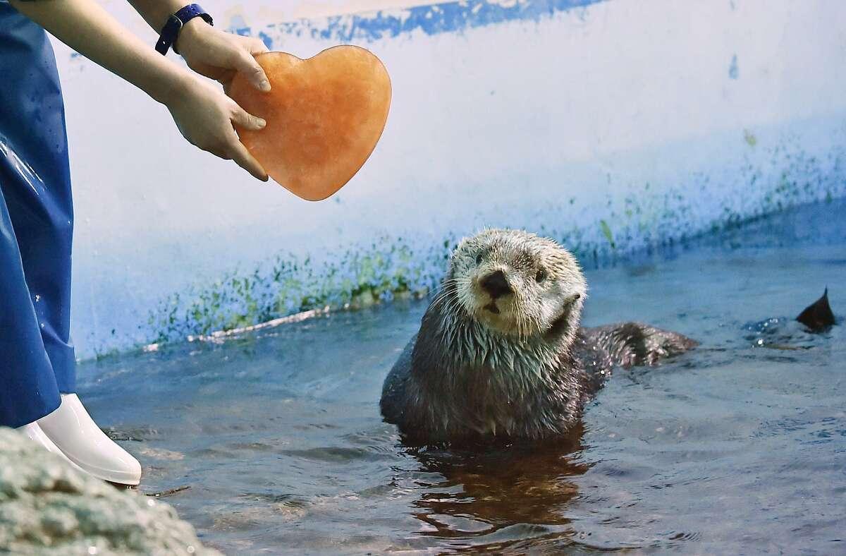 WILL YOU BE MY VALENTINE? Few Alaskan sea otters can say no to a frozen clam juice heart. (Yokohama amusement park, near Tokyo.)