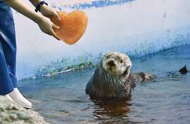 An Alaskan sea otter is given a heart-shaped block of ice, presented by his keeper, inside its enclosure in the aquarium of an amusement park in Yokohama on February 11, 2015. The event takes place once a day for park visitors until February 15 in celebration of Valentine's Day on February 14.