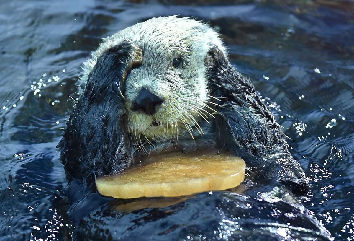 ROSES ARE RED, OCEANS ARE BLUE, if you give me frozen clam juice hearts, I'll always be true. (Alaskan sea otter, Yokohama amusement park.)