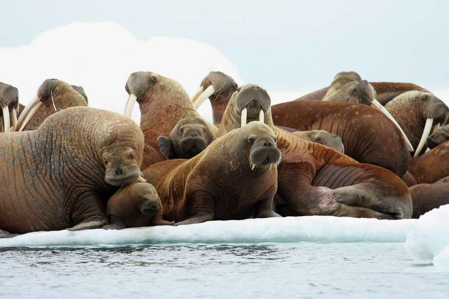 Walrus flock to ice floes in the Chukchi Sea, which could hold billions of barrels of recoverable oil. Photo: S.A. Sonsthagen / Associated Press / U.S. Geological Survey