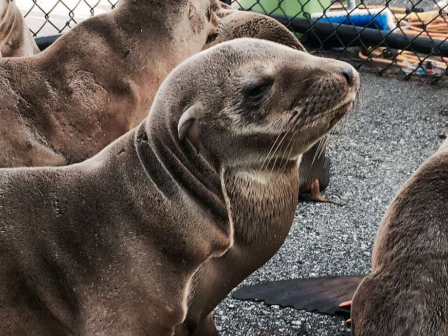 Percevero, an emaciated sea lion pup, was rescued from the side of Skyline Boulevard in San Francisco on Wednesday, Feb. 11, 2015. He is one of 115 pups being treated at the Marine Mammal Center in Sausalito. Photo: Courtesy, The Marine Mammal Center