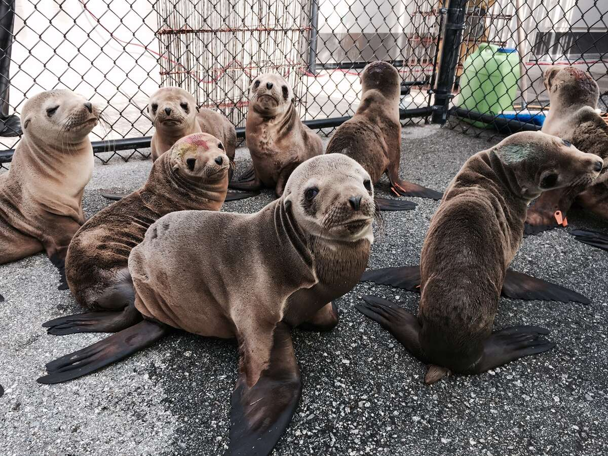 Percevero, an emaciated sea lion pup, was rescued from the side of Skyline Boulevard in San Francisco on Wednesday, Feb. 11, 2015. He is one of 115 pups being treated at the Marine Mammal Center in Sausalito.