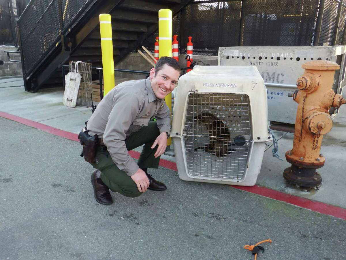 National Park Ranger Matt Wallat posed with Percevero, an emaciated sea lion pup he helped rescue from the side of Skyline Boulevard in San Francisco on Wednesday, Feb. 11, 2015.