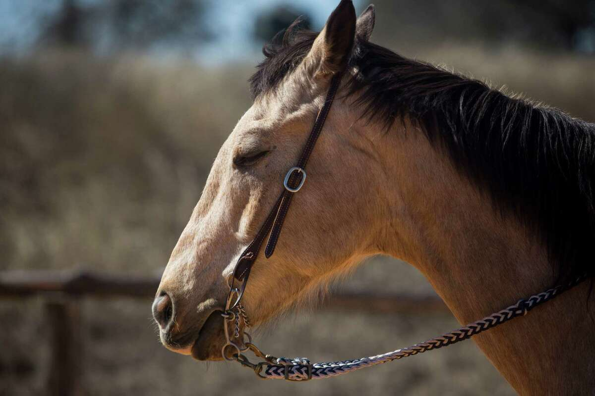 Dillon, a 15-year-old gelding who competitively barrel races with Callie duPerier, stands in the ring on the duPerier ranch in Boerne, TX on Tuesday, February 10, 2015.