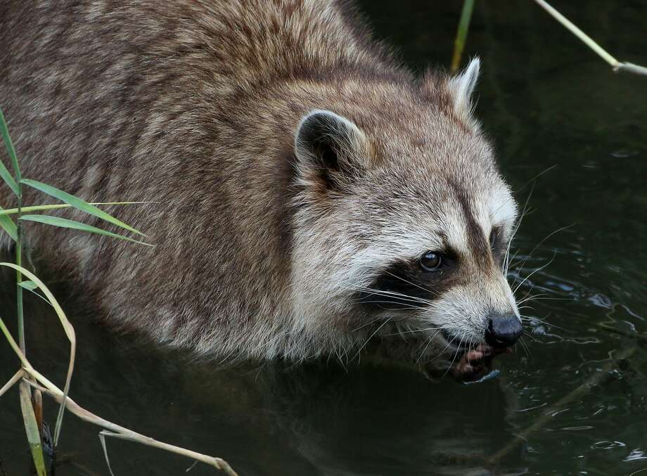 The number of raccoons in San Francisco might stun out-of-towners, but  families of 10 and more have been reported at Lake Merced. Photo: Photofees