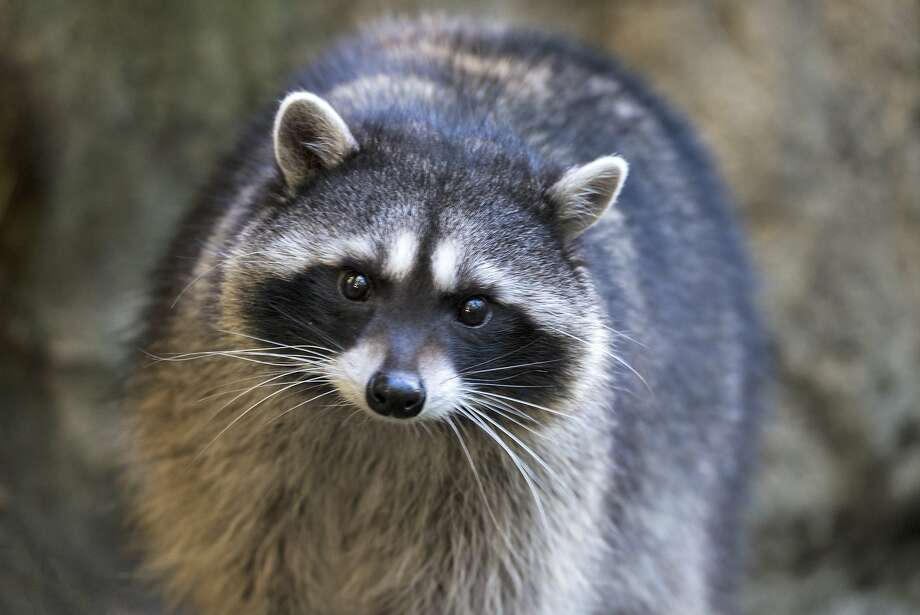 SF Fire Department adorably rescues raccoon in peril
