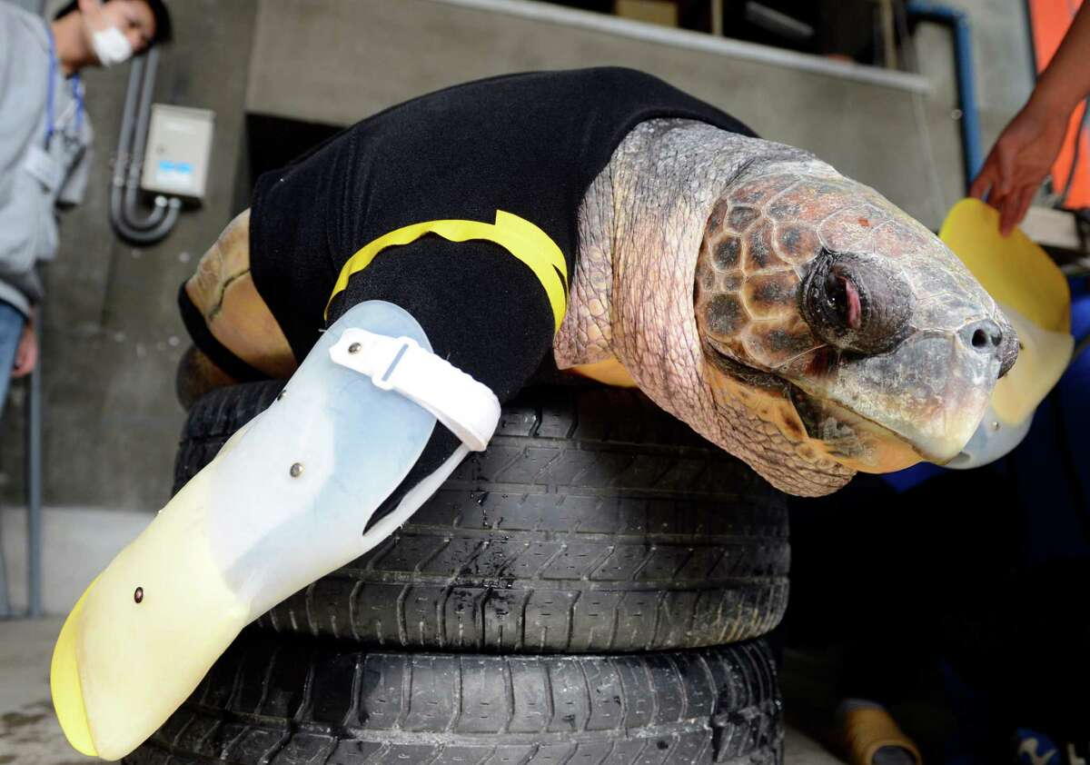 Yu, an approximately 25-year-old female loggerhead turtle, receives her 27th pair of artificial front legs at the Suma Aqualife Park in Kobe on Feb. 12, 2013. Yu lost her front legs during a shark attack.