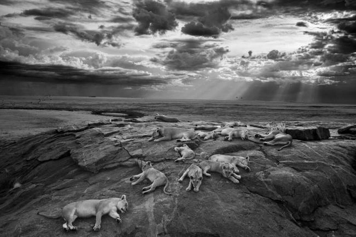 Michael Nichols won the 2014 Wildlife Photographer of the Year title for his photo