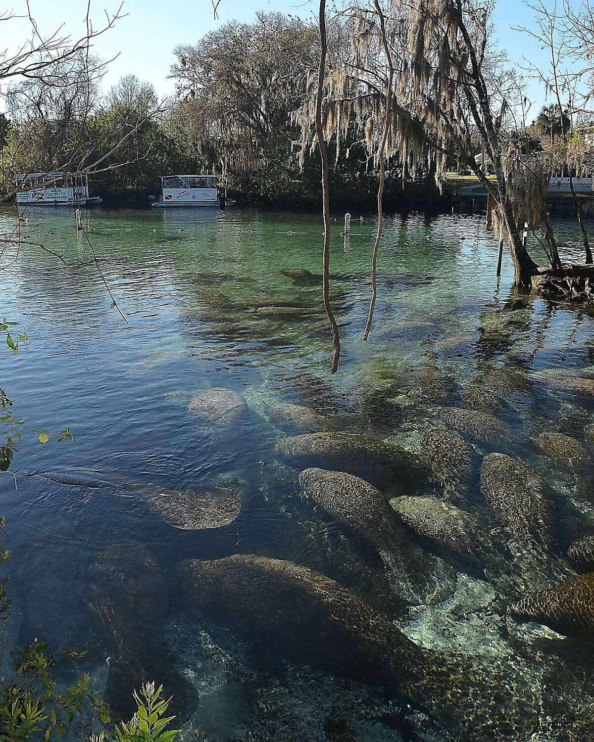 A group of West Indian manatees gather over a freshwater spring vent near Three Sisters Springs, Friday, Feb 13, 2015, in Crystal River, Fla.