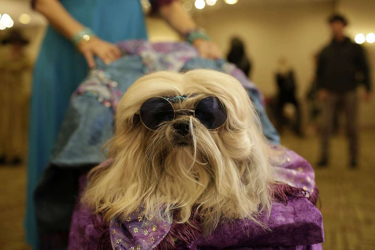 IT'S SO BRIGHT backstage at New York Fashion Week that a glamorous Shih Tzu like Giannan has to wear shades.