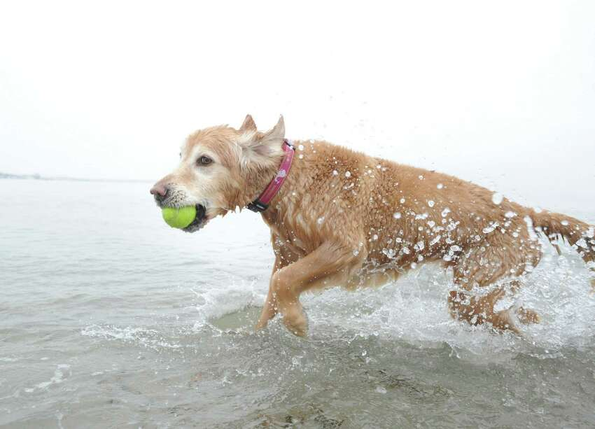 Tessie, a Golden Retreiver belonging to Anna Kokkinos of Rowayton, fetches a tennis ball in Long Island Sound at Greenwich Point Park, Conn., Saturday, Feb. 14, 2015. Dogs are allowed into Greenwich Parks from December 1st through March 31st.