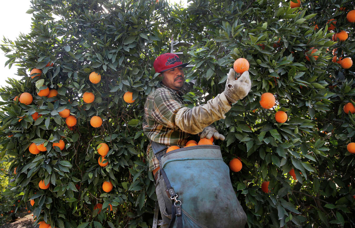 Jose Mariano picks oranges in a Washington Navel orange orchard in Exeter.