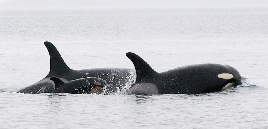 Baby Orca Being Born