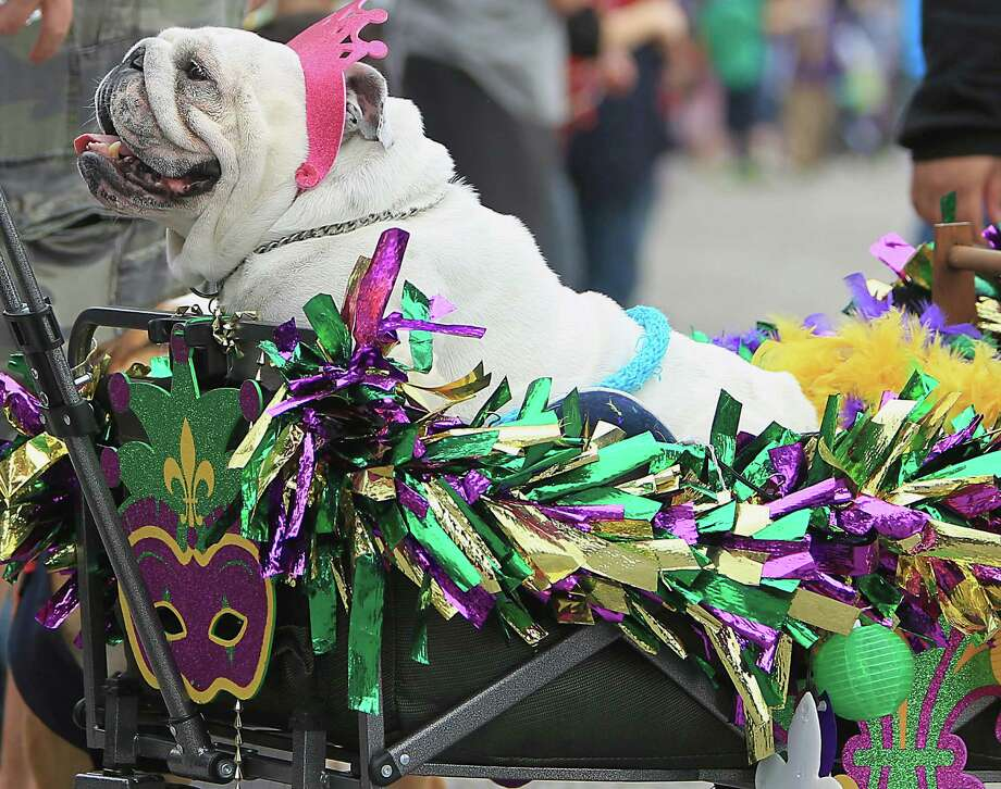 English Bull Dog named Mona rides in a wagon during the 17th annual Krewe of Barkus & Meoux Parade Sunday, Feb. 15, 2015, in Galveston. Photo: James Nielsen, Houston Chronicle / © 2015  Houston Chronicle