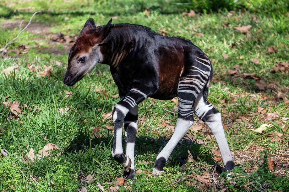 In this Feb. 13, 2015 photo provided by the San Diego Zoo Safari Park, a four-week-old male okapi calf explores his outdoor habitat for the first time at the Park in Escondido, Calif. The young okapi, the 41st born at the Park and named Amaranta, previously had been spending time in the okapi barn and outside yard, but after showing signs of curiosity, staff provided the calf and his mother, Makini, access to the main forested habitat, which is viewable by guests. The okapi, a relative of the giraffe, is native to rainforests of central Africa. The Safari Park has taken a leadership role in conservation awareness through its ongoing support of the Okapi Conservation Project, which provides wildlife protection, alternative agriculture methods and community assistance in the Democratic Republic of Congo. (AP Photo/San Diego Zoo Safari Park) Photo: Ken Bohn, HONS / San Diego Zoo Safari Park