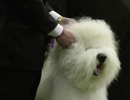 "Old English SheepdogAverage price: $1,250Tier: Fair working/obedience intelligence**Note: ""Dog breeds deemed 'fair working/obedience intelligence' tend to understand new commands after 40 to 80 repetitions and obey the first command 30 percent of the time or better."" Photo: TIMOTHY A. CLARY, Getty / AFP"