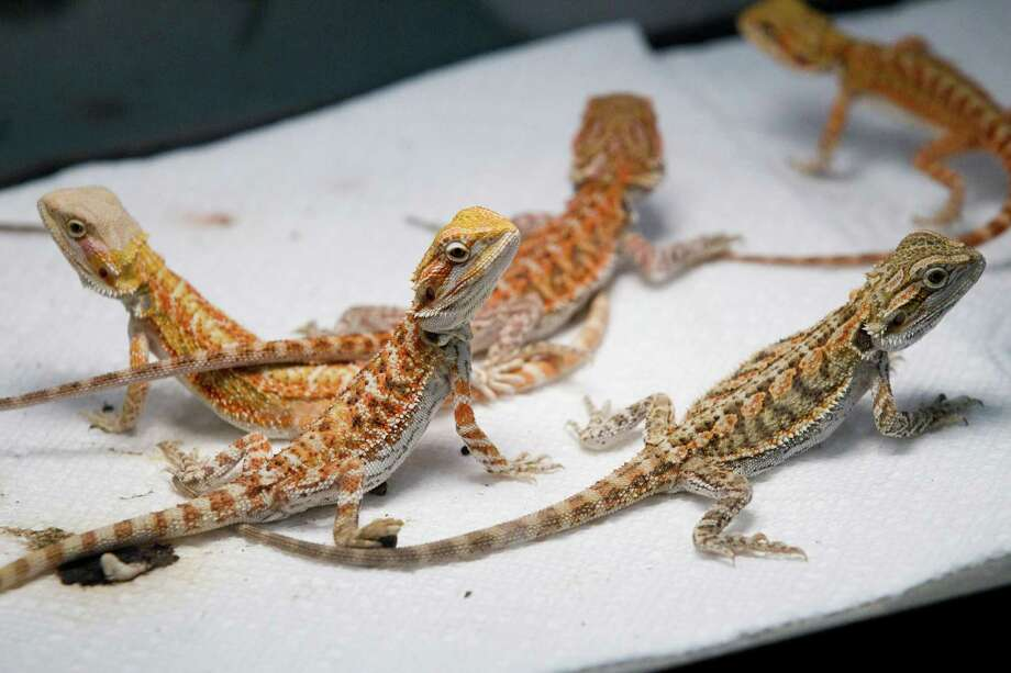 Bearded dragons are on display for sale at Repticon reptile and exotic animal convention at the Pasadena Convention Center and Fairground Saturday, Feb. 2, 2013, in Pasadena. ( Brett Coomer / Houston Chronicle ) Photo: Brett Coomer, Houston Chronicle / © 2013 Houston Chronicle