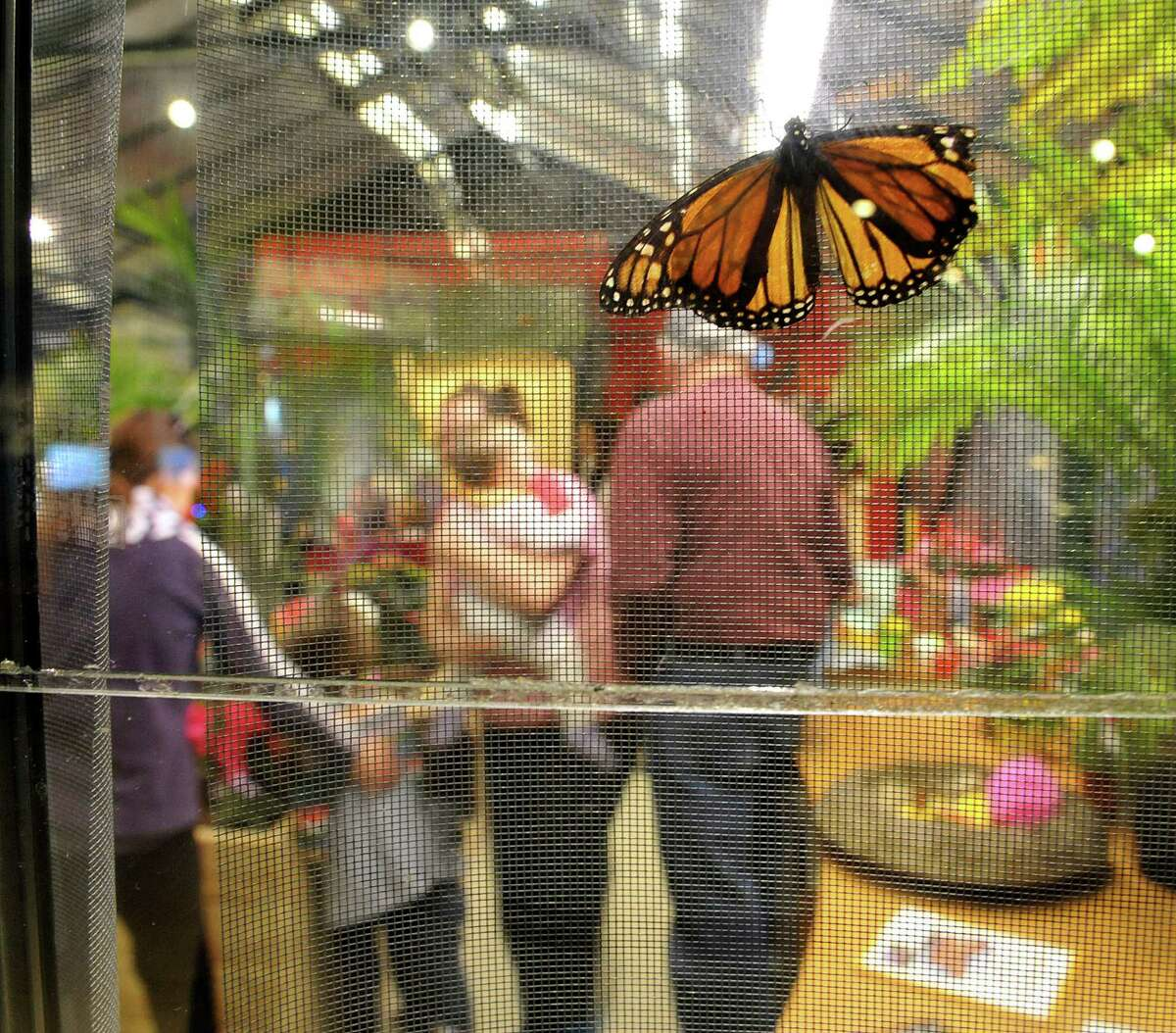 A monarch butterfly rests on some netting at the butterfly house inside the MiSci, the Museum of Innovation and Science on Monday, Feb. 16, 2015, in Schenectady, N.Y. The butterfly house is open through April 19th. (Paul Buckowski / Times Union)