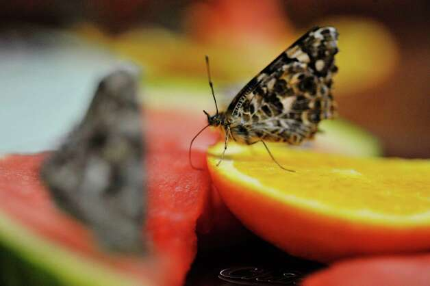 Painted lady butterflies feed on pieces of fruit at the butterfly house inside the MiSci, the Museum of Innovation and Science on Monday, Feb. 16, 2015, in Schenectady, N.Y.  The butterfly house is open through April 19th.   (Paul Buckowski / Times Union) Photo: Paul Buckowski / 00030569A