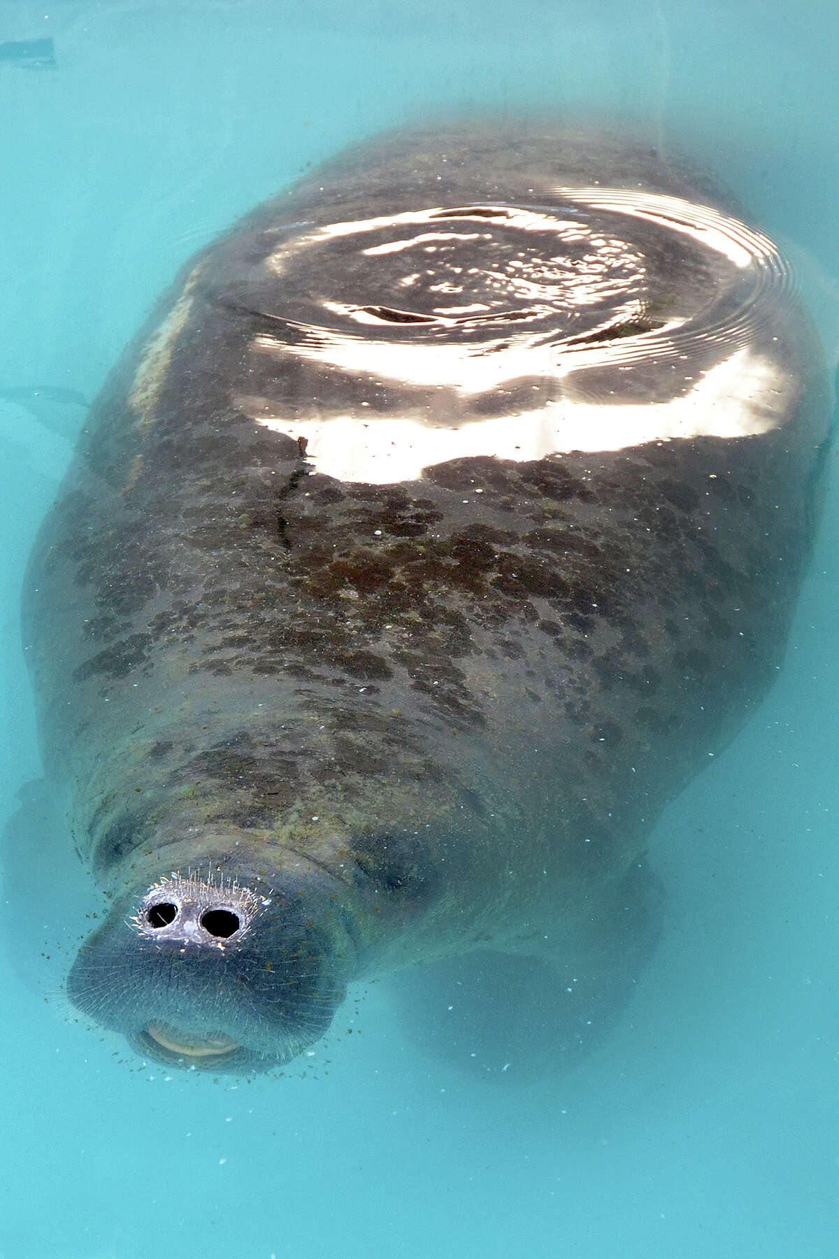 The rescued manatee that spent almost three months rehabilitating from malnourishment and injuries at SeaWorld San Antonio will make his way back to Florida. The sea cow, named Trinidad, has come full circle since Nov. 24, when workers at the Chambers County Sheriff's Office found him swimming in the warm water of a power plant's outflow in Trinity Bay near Baytown. At the time, he was about 200 pounds underweight, had no appetite and battled an infection.