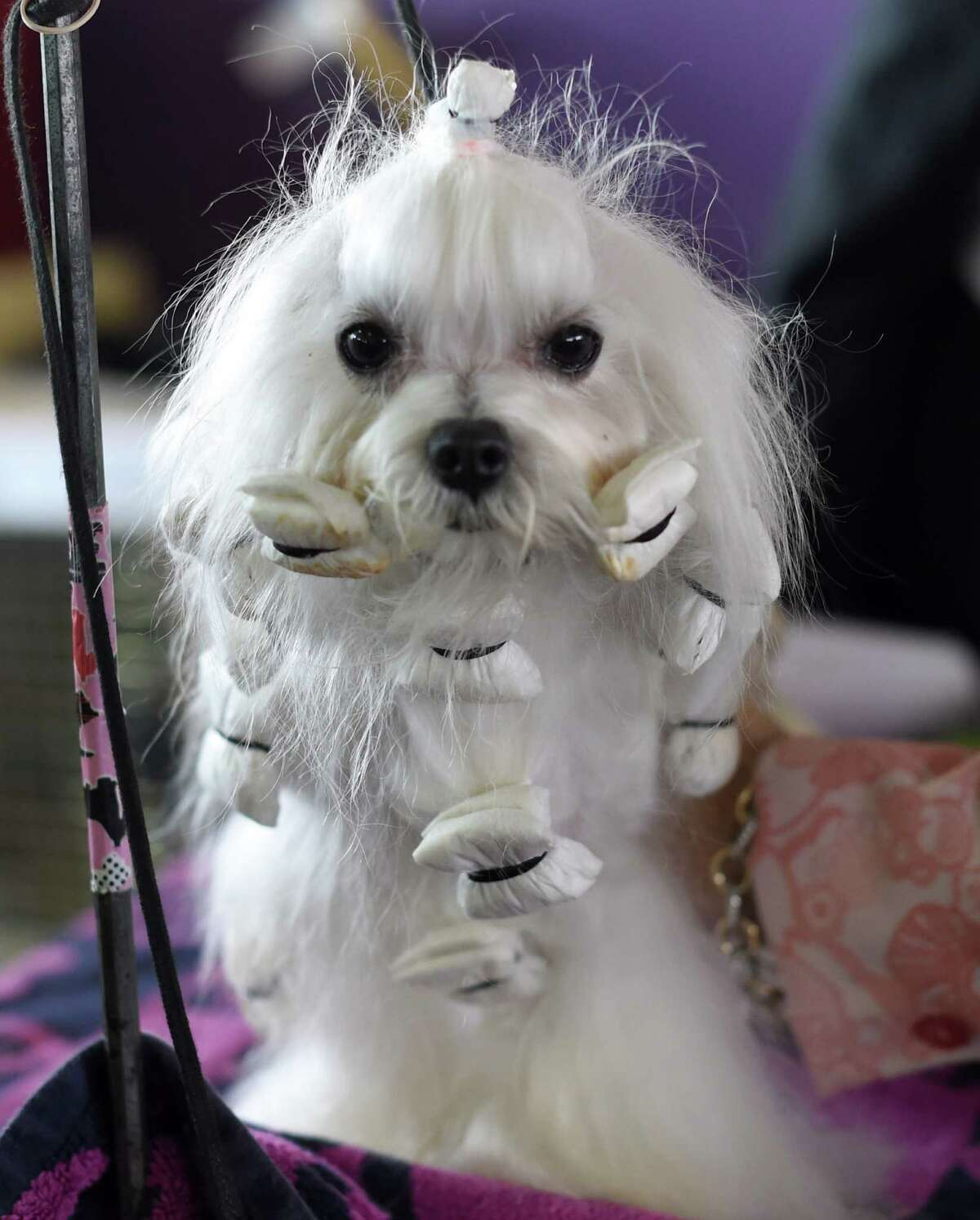 A Maltese in the benching area at Pier 92 and 94 in New York City on the first day of competition at the 139th Annual Westminster Kennel Club Dog Show.