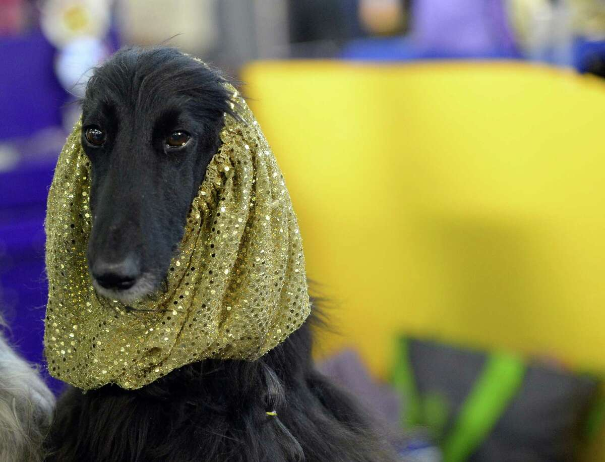 A Afghan Hound in the benching area at Pier 92 and 94 in New York City on the first day of competition at the 139th Annual Westminster Kennel Club Dog Show.